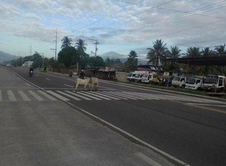 """Takot Masita?"" Cows in Davao City spotted crossing the highway via pedestrian lane"